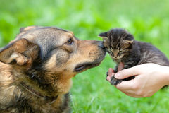 Big dog and little kitten. A big dog and a little kitten in female hands sniffing each other outdoor stock images