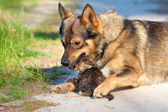 Big dog and little kitten. Big dog hugging little kitten outdoor Royalty Free Stock Image