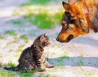 Big dog and little kitten. Looking at each other royalty free stock images