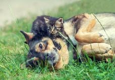 Big Dog and Little Kitten Stock Photography