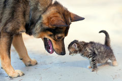 Big dog and little kitten. Sniffing each other outdoor Royalty Free Stock Photo