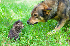 Big Dog and Little Kitten. Big dog sniffing little kitten outdoors Stock Image