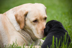 Big dog and little puppy stock images