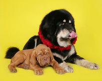 Big dog and the little puppy Royalty Free Stock Photos