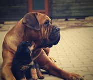 Big dog and little puppy Royalty Free Stock Photography
