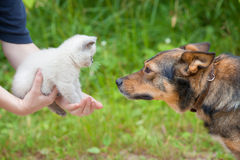 Big dog and little white kitten Royalty Free Stock Photo
