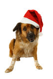 Big dog is looking for christmas Royalty Free Stock Images