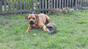 big dog lying and playing  with ball in summer garden stock image