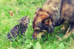 Big dog and meowing little kitten Stock Image