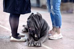 Big dog of Neapolitan Mastiff breed, old school ear cut, laying between two pairs of women legs. royalty free stock photos
