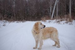 Big dog one on road in winter. Big dog is one on the road in the winter royalty free stock photography