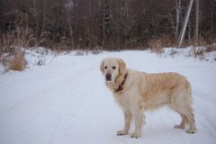 Big dog one on road in winter. Big dog is one on the road in the winter stock image