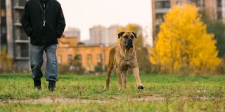 Big dog and an owner on urban lawn Stock Image