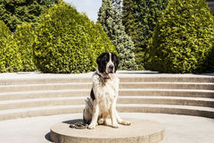 Big dog. Photo session of Big dog. Breed of Landseer Royalty Free Stock Photos
