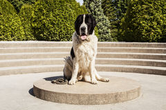 Big dog. Photo session of Big dog. Breed of Landseer Royalty Free Stock Image
