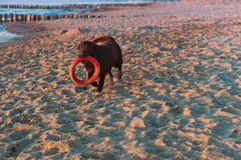 Dark dog with a toy on the beach, big dog playing on the beach, dog running around on the beach with a toy in his teeth royalty free stock photo