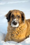 Big dog  playing in the snow Royalty Free Stock Image
