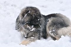Caucasian Shepherd Dog. Big dog portrait. Caucasian Shepherd Dog stock image