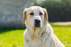 Big dog portrait Royalty Free Stock Image