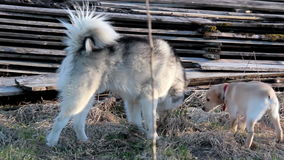 A big dog and a puppy playing. A big Alaska malamoute siberian husky dog playing along with a tiny off-white labrador retriever puppy in the vacant lot one fine stock video footage