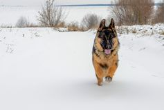 The big dog quickly runs on white snow stock photography