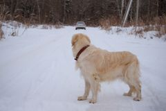 Big dog is on the road and looking at leaving car. Big dog road and looking leaving car Stock Photo