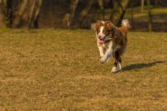 Big dog runs in the park. White, brown dog runs in the park Royalty Free Stock Photos