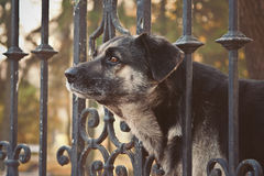 Big dog with sad eyes looking out from behind a fence Stock Photo