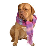 Big dog with scarf Royalty Free Stock Photos