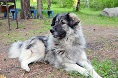Big dog of shepherd lie on the ground Royalty Free Stock Photography