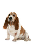 Big dog with short legs and long ears. Big basset hound with short legs and long ears royalty free stock photo