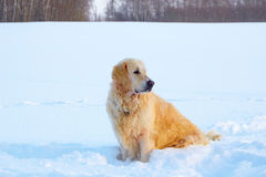 Big dog sits in the snow. The big dog sits in the snow in the field Royalty Free Stock Image