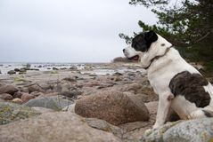 A big dog sits among the stones on the sea beach royalty free stock photos