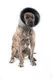 Big dog sitting Stock Images