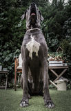 Big dog. Sitting on a garden Stock Images