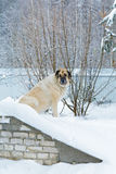 Big dog sitting in the snow Royalty Free Stock Photos