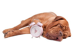 Big dog sleeping Stock Image