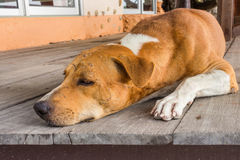 A big dog sleeping. In the house Royalty Free Stock Photos