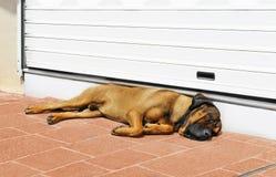 Big dog sleeping at the door royalty free stock image