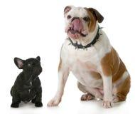 Big dog small dog. Big and small dog - small french bulldog looking up to big english bulldog licking lips wearing spiked collar stock photography