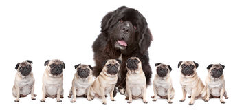 Big Dog Small Dogs Stock Image