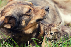 Big dog and a small kitten Stock Photo