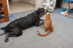 Big dog and small kitty from behind Royalty Free Stock Photography