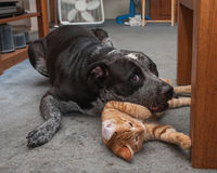 Big dog and small kitty playing rough. Stock Photo