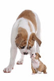 Big dog small puppy. In front of a white background Royalty Free Stock Photo