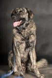 Big dog in studio Stock Photo