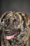 Big dog in studio Stock Image