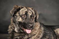 Big dog in studio Royalty Free Stock Photo