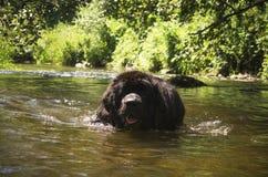 Big dog swimming Royalty Free Stock Image