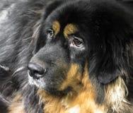 Big dog, Tibetan Mastiff. Tibetan Mastiff, a very big dog lives in Tebet stock images